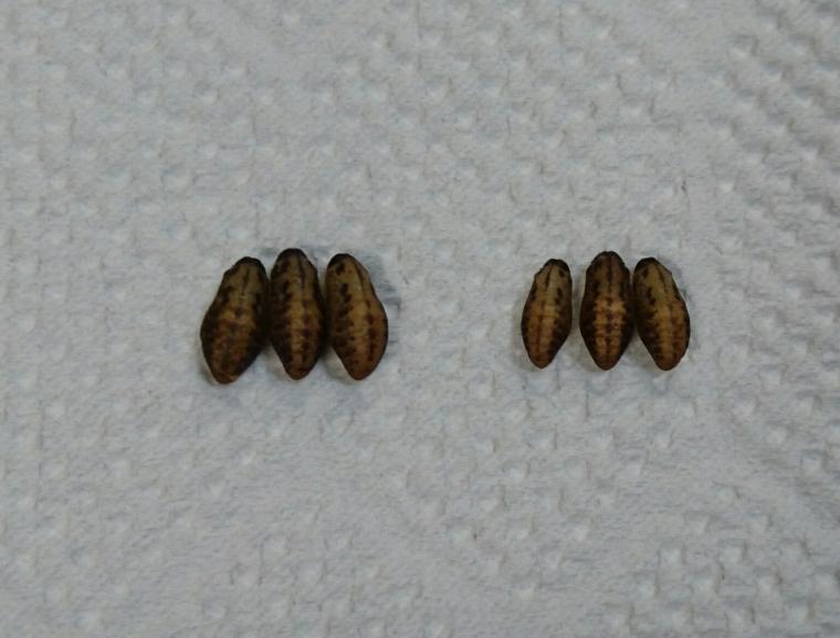 カバイロシジミ越冬蛹