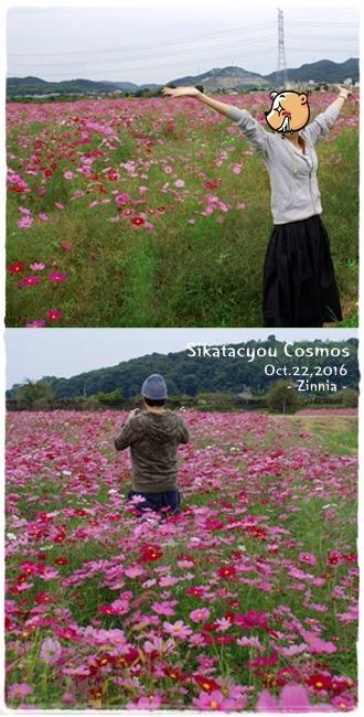 季節の花「コスモス」を見に3