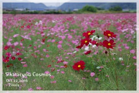 季節の花「コスモス」を見に2