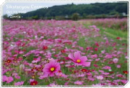 季節の花「コスモス」を見に1