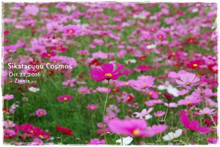 季節の花「コスモス」を見に4