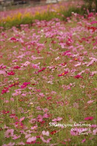季節の花「コスモス」を見に6