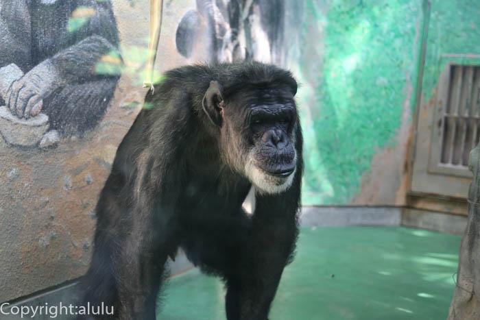 サル さる チンパンジー