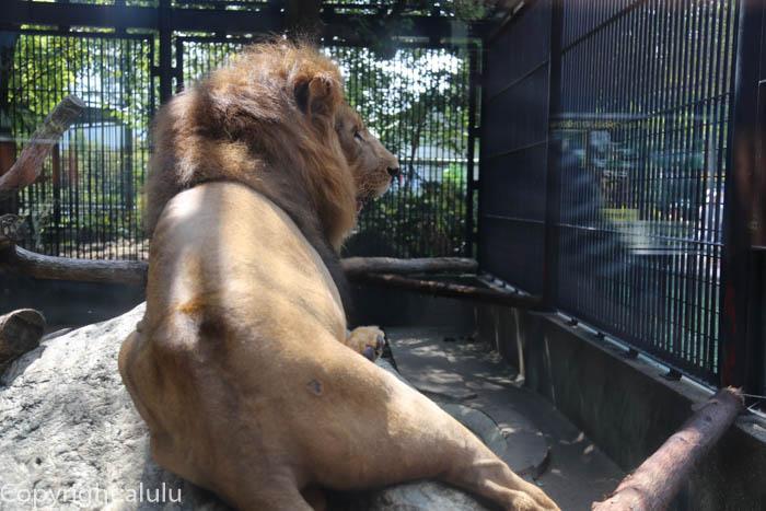 ライオン わんぱーくこうちアニマルランド