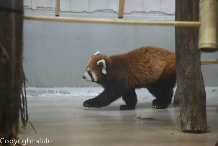 のいち動物園 レッサーパンダ