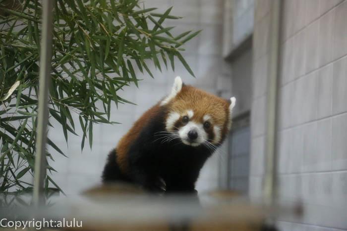 のいち動物公園 レッサーパンダ