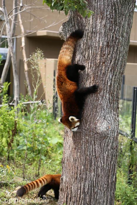 円山動物園 レッサーパンダ 画像