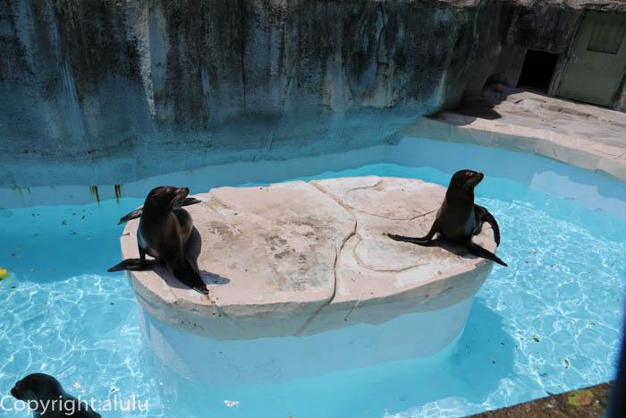 とべ動物園 エサやり カリフォルニアアシカ