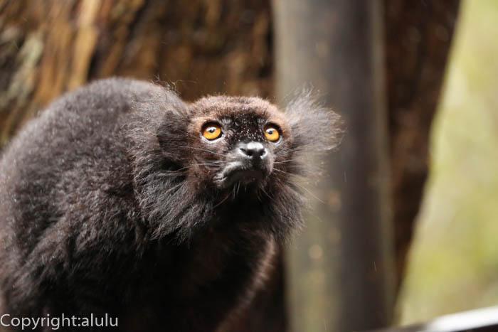 マダガスカル島 クロキツネザル