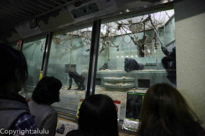 東山動物園 イケメンゴリラ
