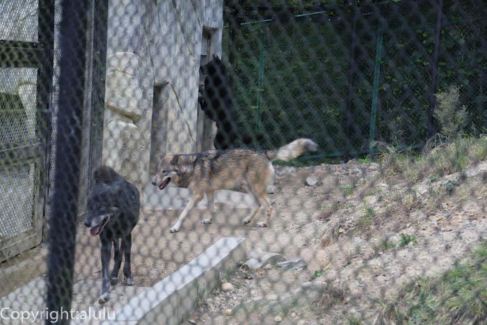 東山動物園 シンリンオオカミ