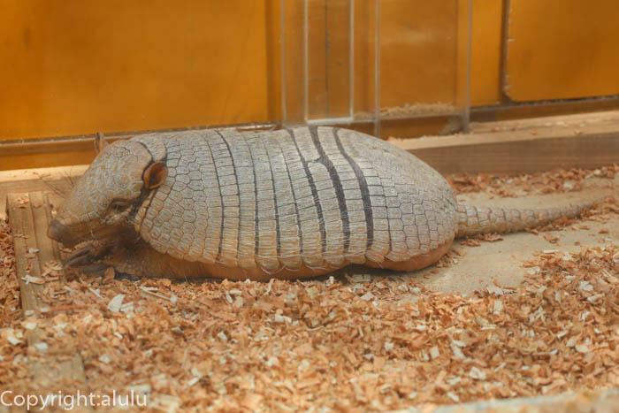 羽村市動物園 ムツオビアルマジロ 画像