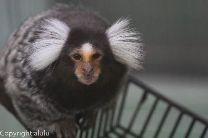 動物写真 コモンマーモセット