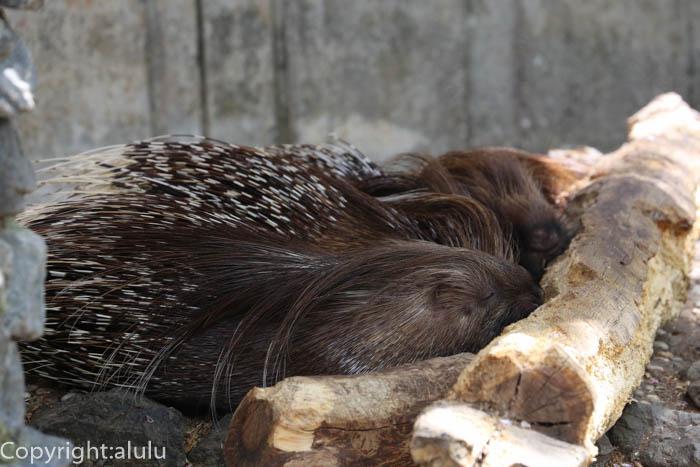 羽村市動物公園 インドタテガミヤマアラシ