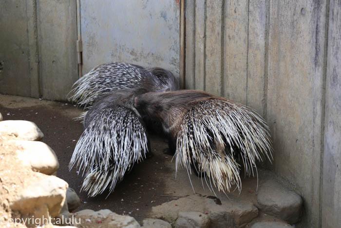 羽村市動物公園 ヤマアラシ