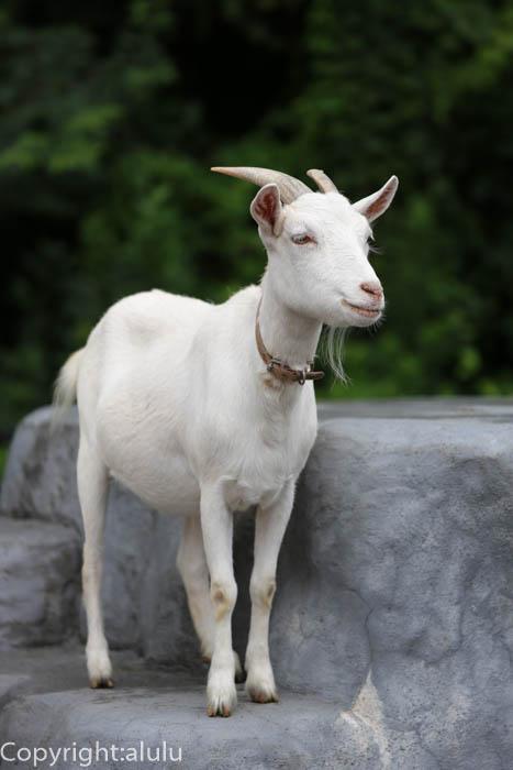 日本平動物園 ヤギ 画像