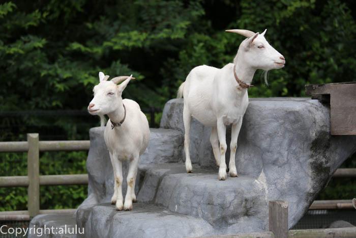 日本平動物園 ヤギ