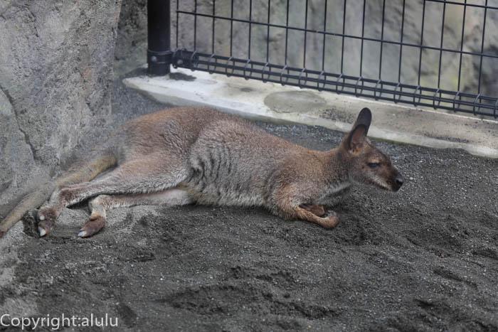 日本平動物園 ワラビー 画像