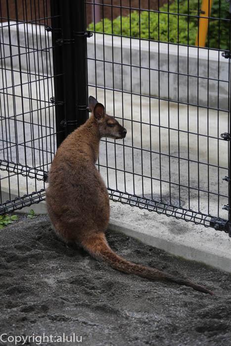 日本平動物園 ベネットアカクビワラビー
