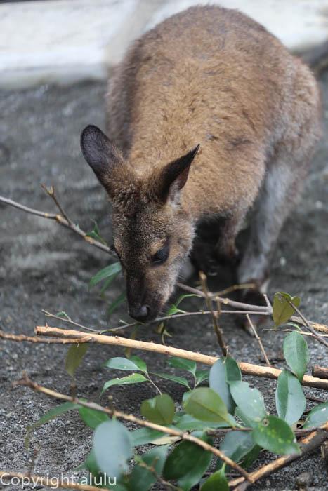 ベネットアカクビワラビー 動物写真