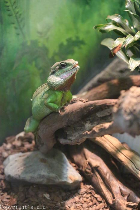 静岡市立日本平動物園 爬虫類館 インドシナウォータードラゴン