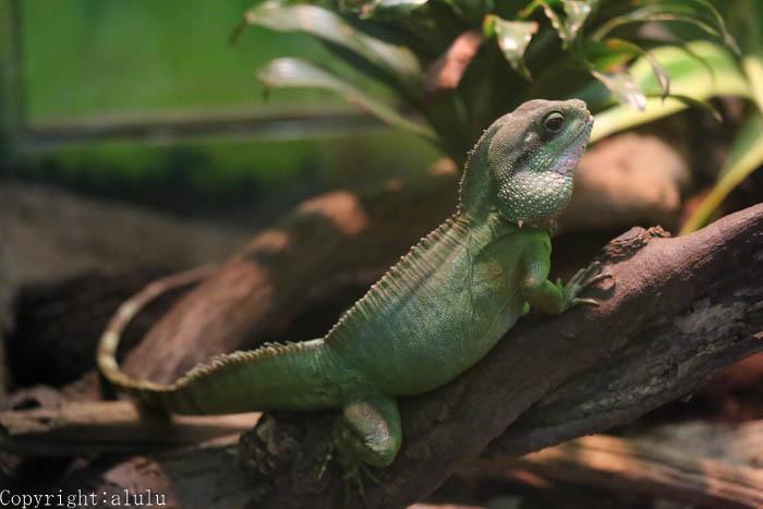 爬虫類 インドシナウォータードラゴン 画像