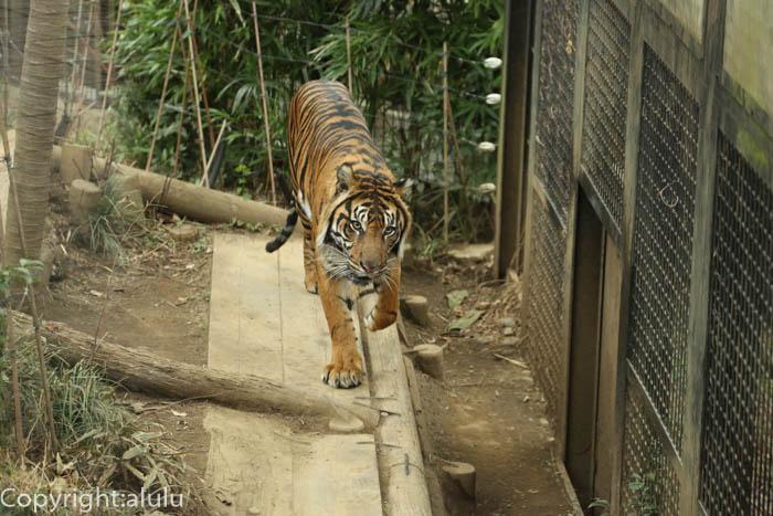 上野動物園 スマトラトラ 動物写真