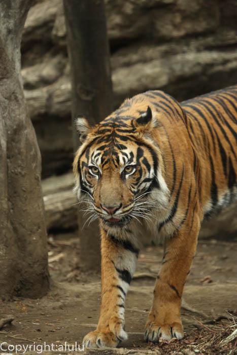 スマトラトラ 動物写真