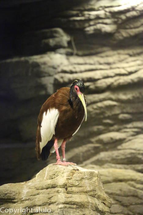 上野動物園 マダガスカルトキ 画像