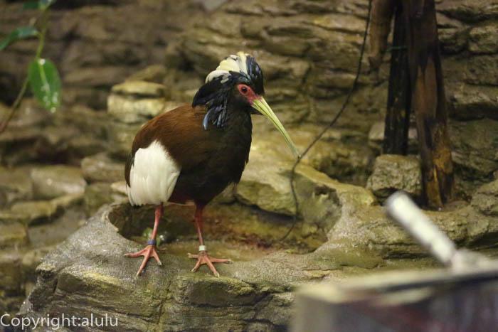 マダガスカルトキ 鳥類 トリ
