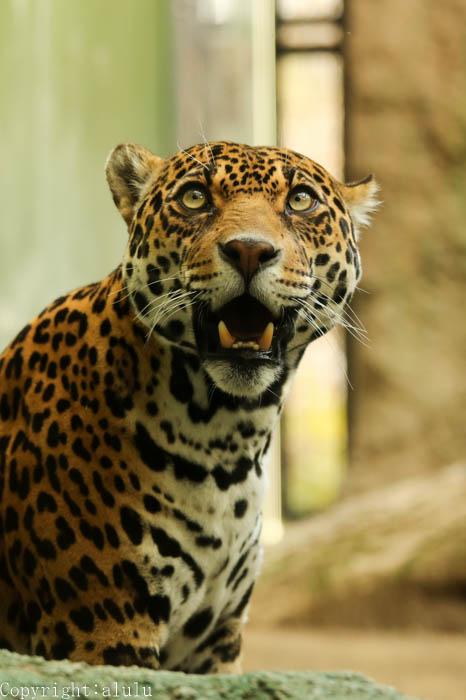 日本平動物園 ジャガー 画像