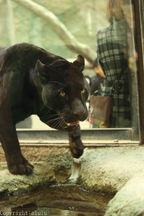 ジャガー 黒 画像