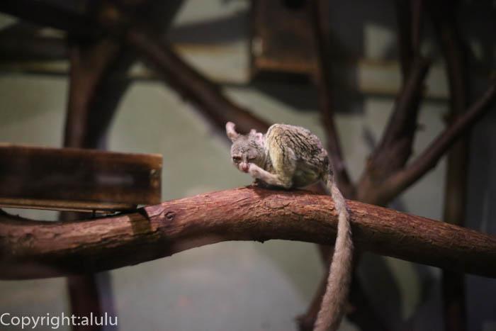 ショウガラゴ 動物写真