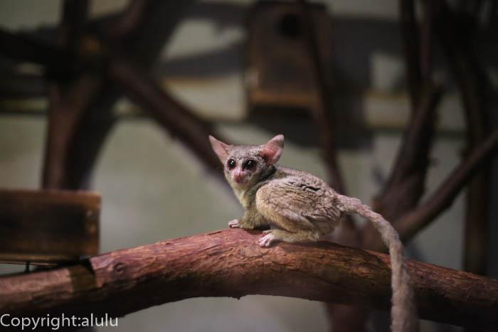 上野動物園 夜行性 ショウガラゴ