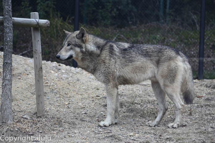 東山動物園 シンリンオオカミ 画像