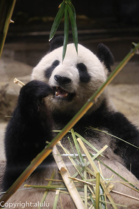 上野動物園 ジャイアントパンダ 画像