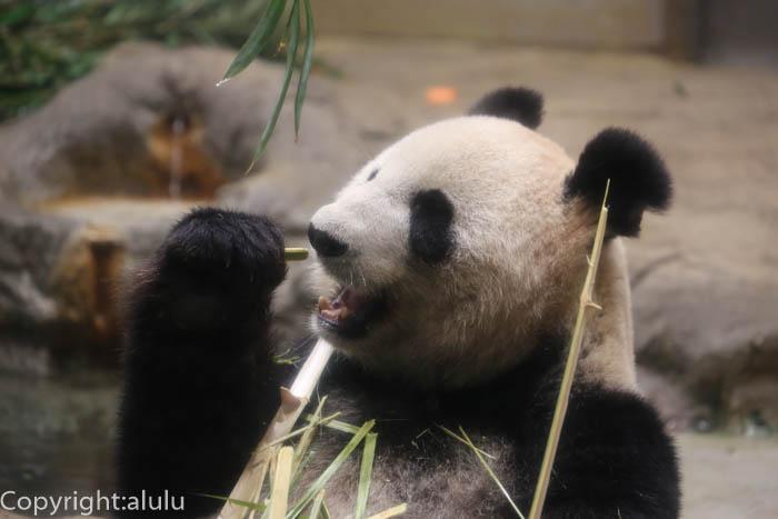ジャイアントパンダ 動物写真