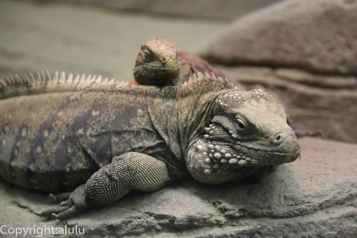 爬虫類 東山動物園 ケイマンイワイグアナ