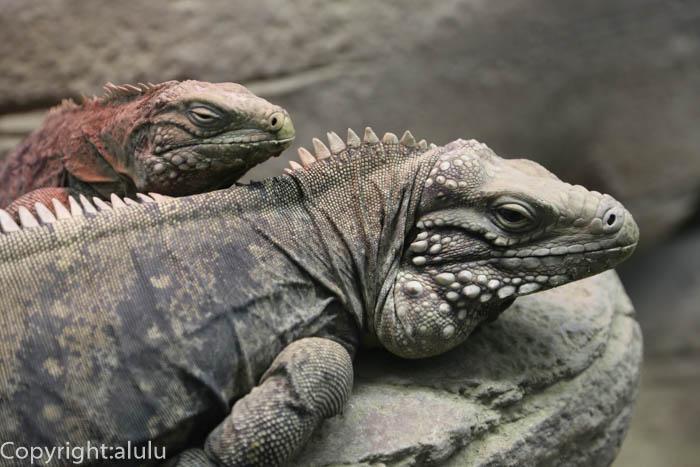 ケイマンイワイグアナ 動物写真 爬虫類