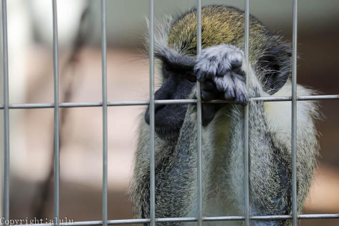 天王寺動物園 サバンナモンキー