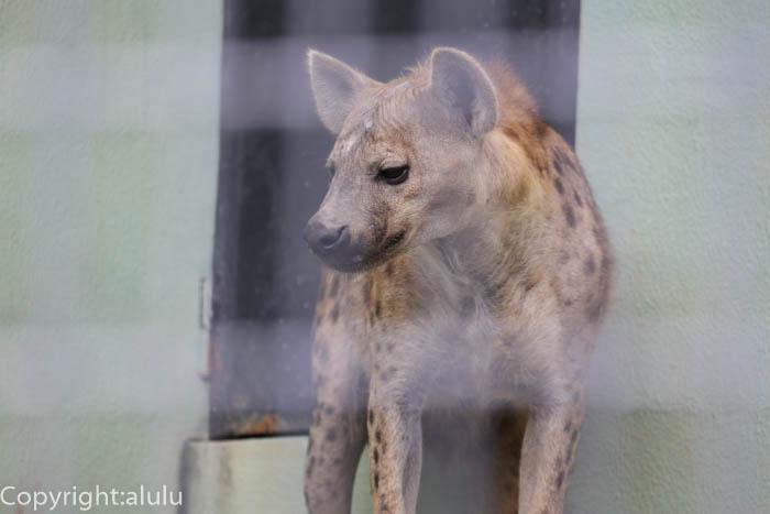 日本平動物園 静岡 ブチハイエナ