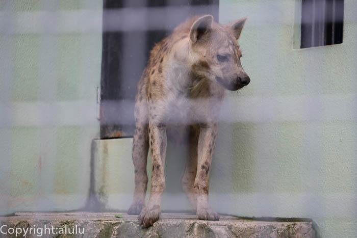 日本平動物園 ブチハイエナ