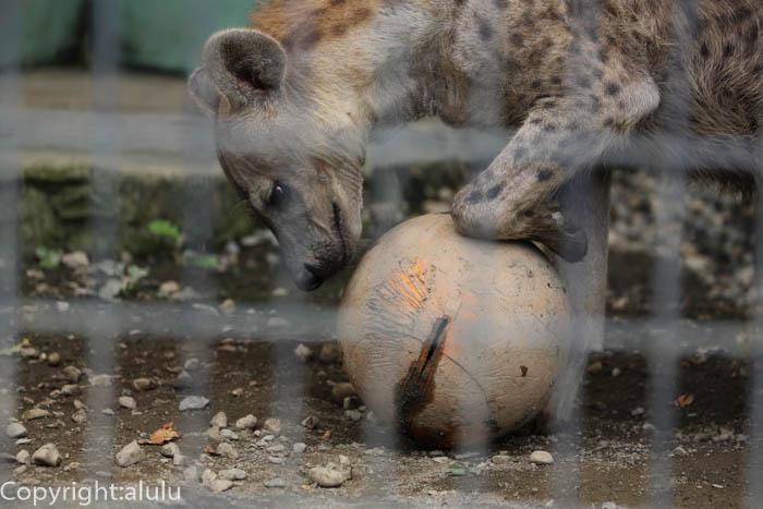 動物写真 ブチハイエナ