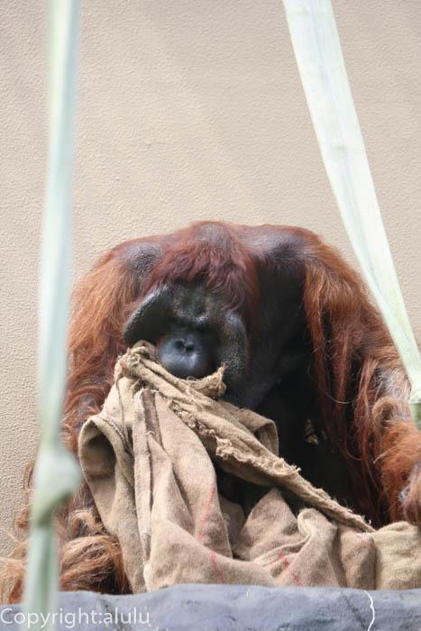 日本平動物園 さる ボルネオオランウータン