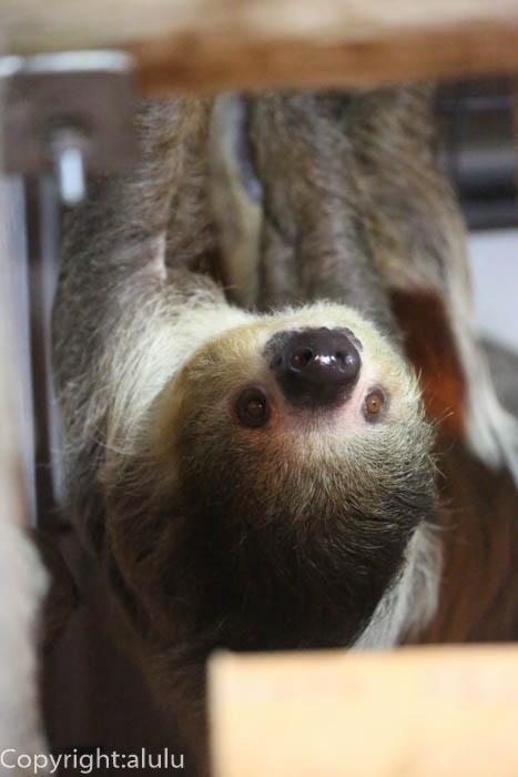 フタユビナマケモノ 動物写真