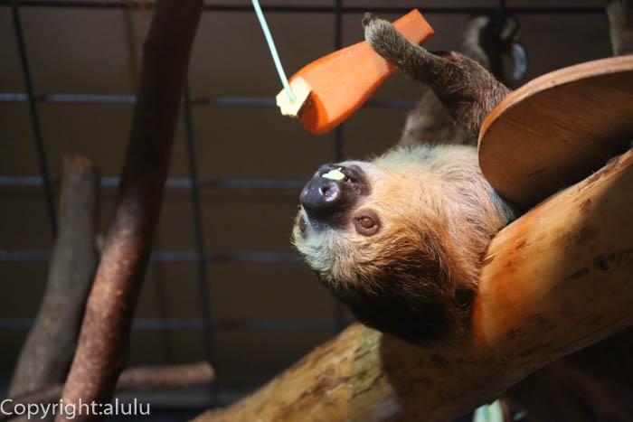 日本平動物園 夜行生物館 フタユビナマケモノ