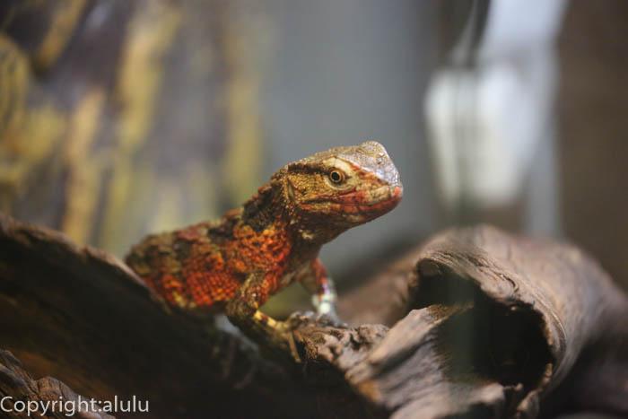 日本平動物園 は虫類館 チュウゴクワニトカゲ