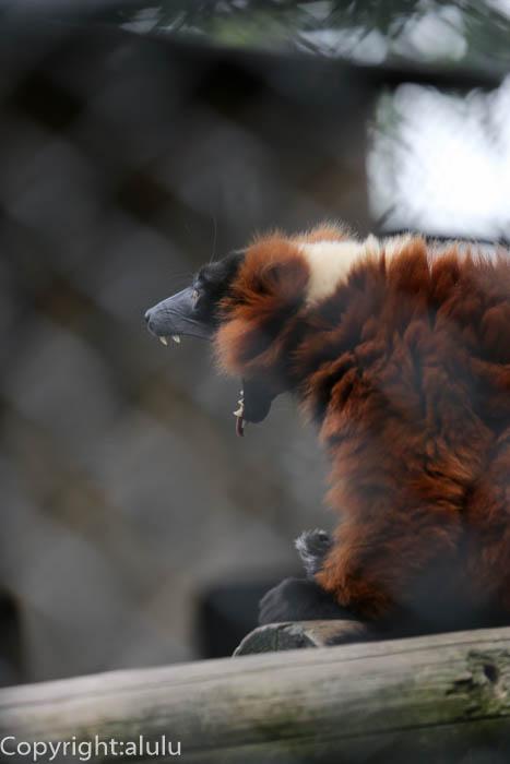 野毛山動物園 アカエリマキキツネザル