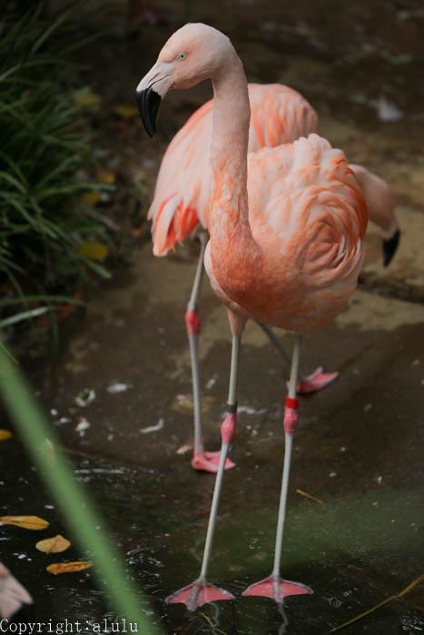 野毛山動物園 フラミンゴ 画像