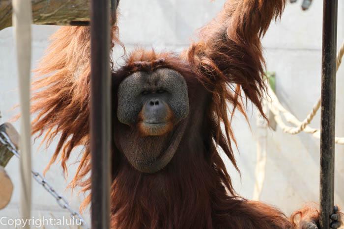 市川市動植物園 スマトラオランウータン 画像